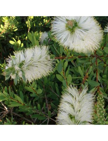 Callistemon citrinus 'White Anzac' plantas arbustivas