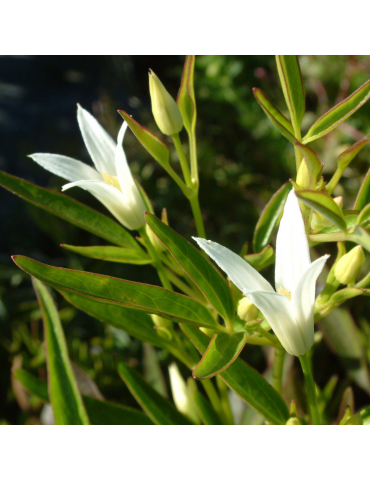Clematis 'Southern Cross' plantas arbustivas