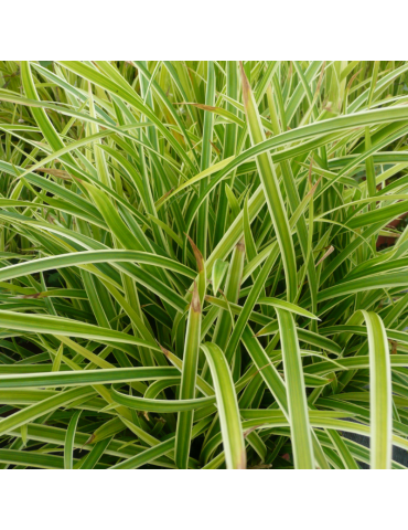 gramíneas ornamentales Carex morrowii 'Ice Dance'