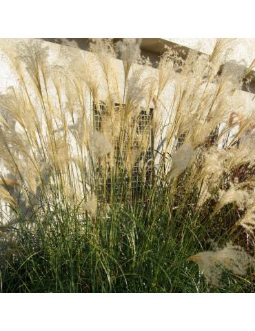 gramíneas ornamentales Miscanthus sinensis 'Adagio'
