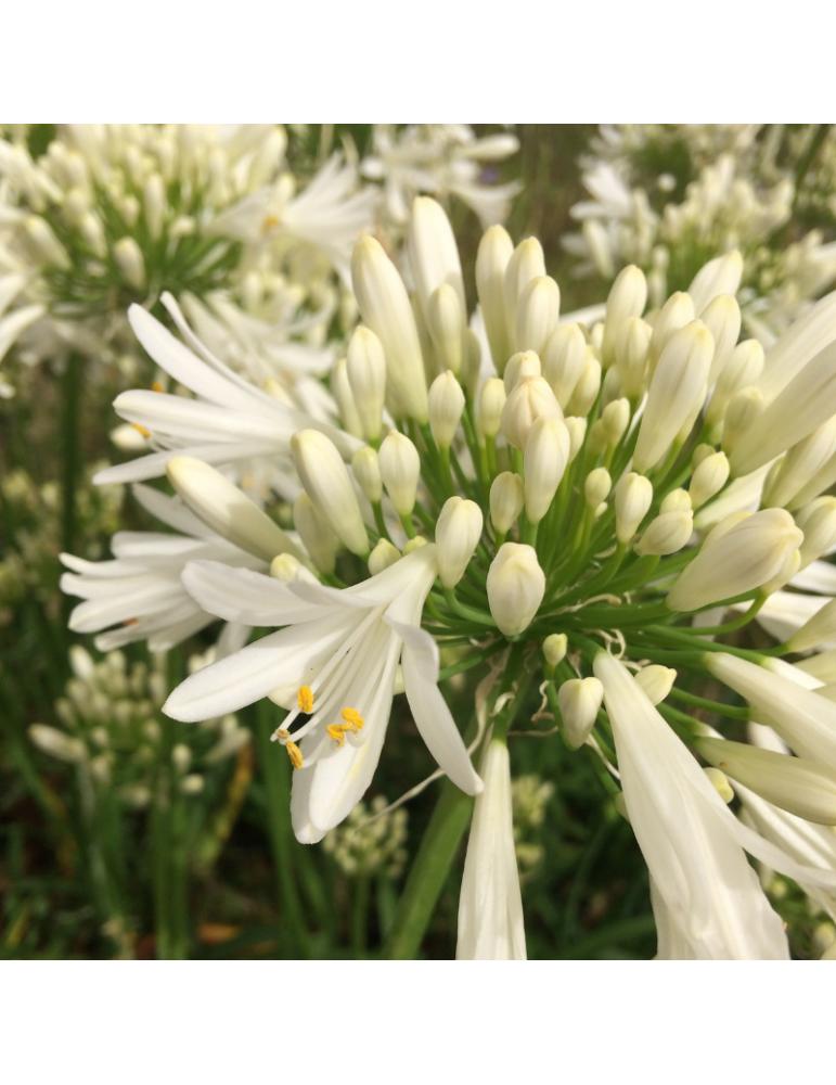 comprar plantas vivaces Agapanthus 'White Ice'