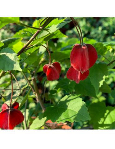 Abutilon megapotanicum plantas arbustivas