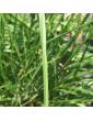 gramíneas ornamentales Pennisetum alopecuroides 'Gebstiel'